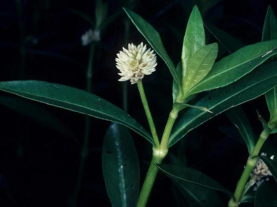 被吃掉拉出来还能继续长见到这种常见恐怖植物千万别乱拔